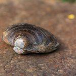 Süsswasser Muschel