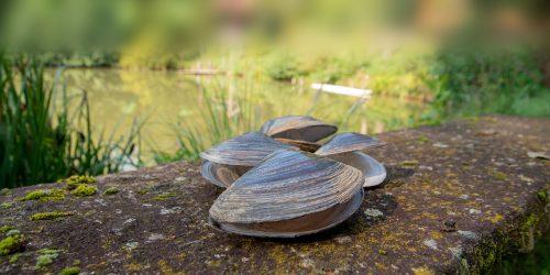 Süsswassermuscheln